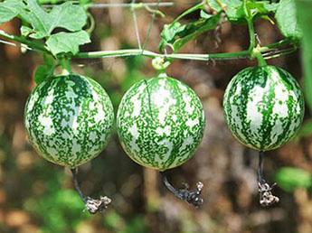 孕妇可以吃吊瓜子吗